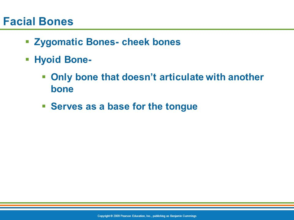 Facial Bones Zygomatic Bones- cheek bones Hyoid Bone-