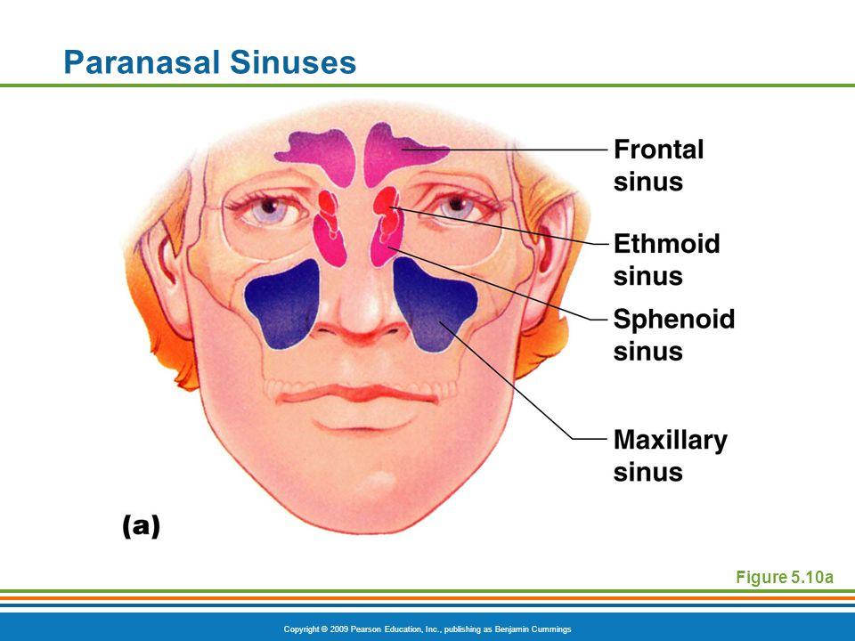 Paranasal Sinuses Figure 5.10a