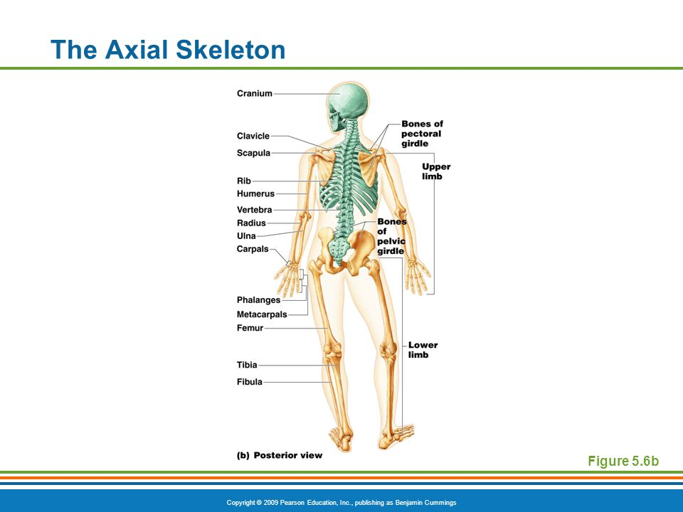 The Axial Skeleton Figure 5.6b
