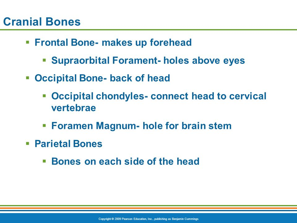Cranial Bones Frontal Bone- makes up forehead