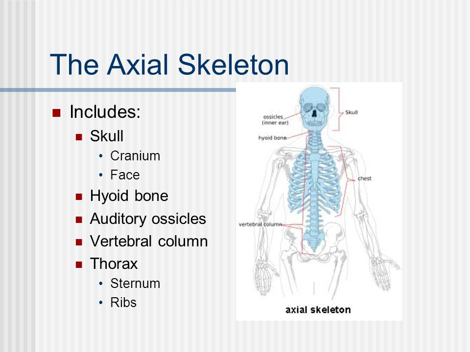 The Axial Skeleton Includes: Skull Hyoid bone Auditory ossicles