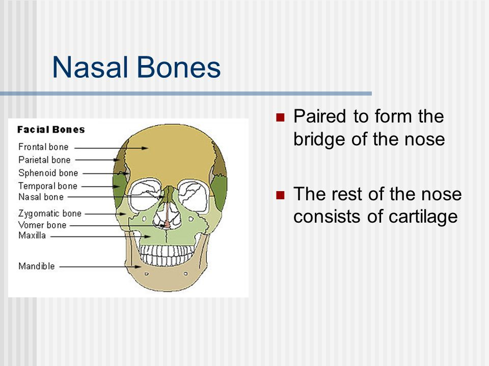 Nasal Bones Paired to form the bridge of the nose
