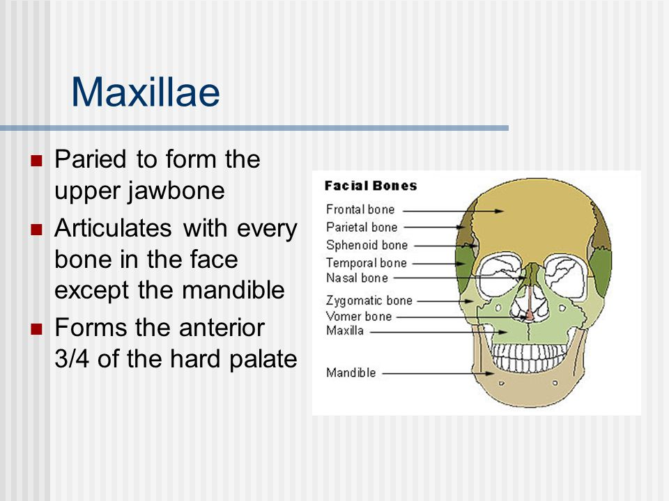 Maxillae Paried to form the upper jawbone