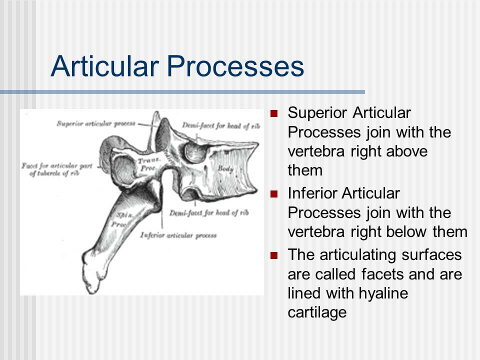 Articular Processes Superior Articular Processes join with the vertebra right above them.