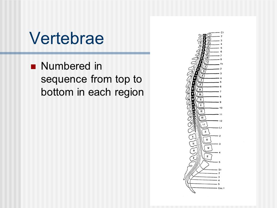 Vertebrae Numbered in sequence from top to bottom in each region