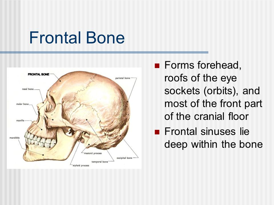 Frontal Bone Forms forehead, roofs of the eye sockets (orbits), and most of the front part of the cranial floor.