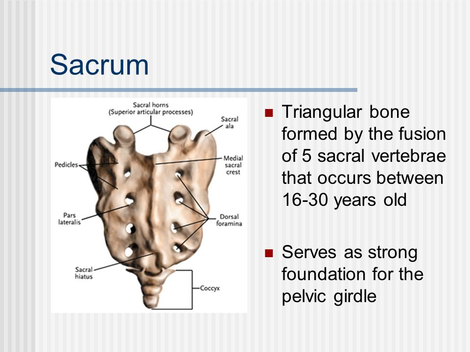 Sacrum Triangular bone formed by the fusion of 5 sacral vertebrae that occurs between 16-30 years old.