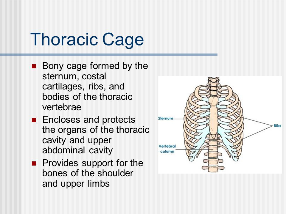 Thoracic Cage Bony cage formed by the sternum, costal cartilages, ribs, and bodies of the thoracic vertebrae.