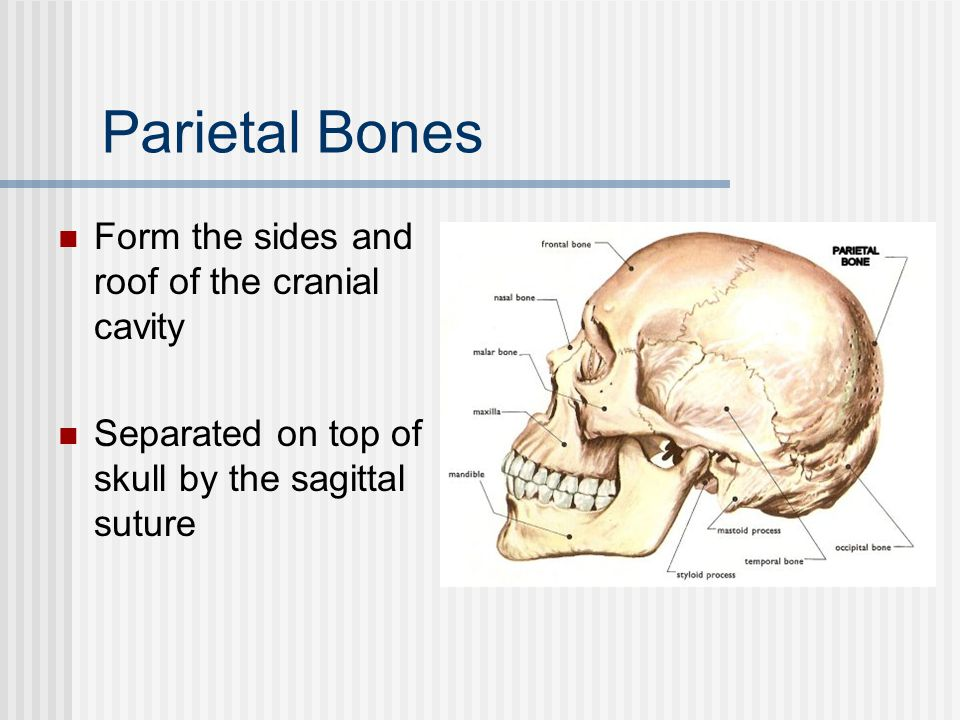 Parietal Bones Form the sides and roof of the cranial cavity