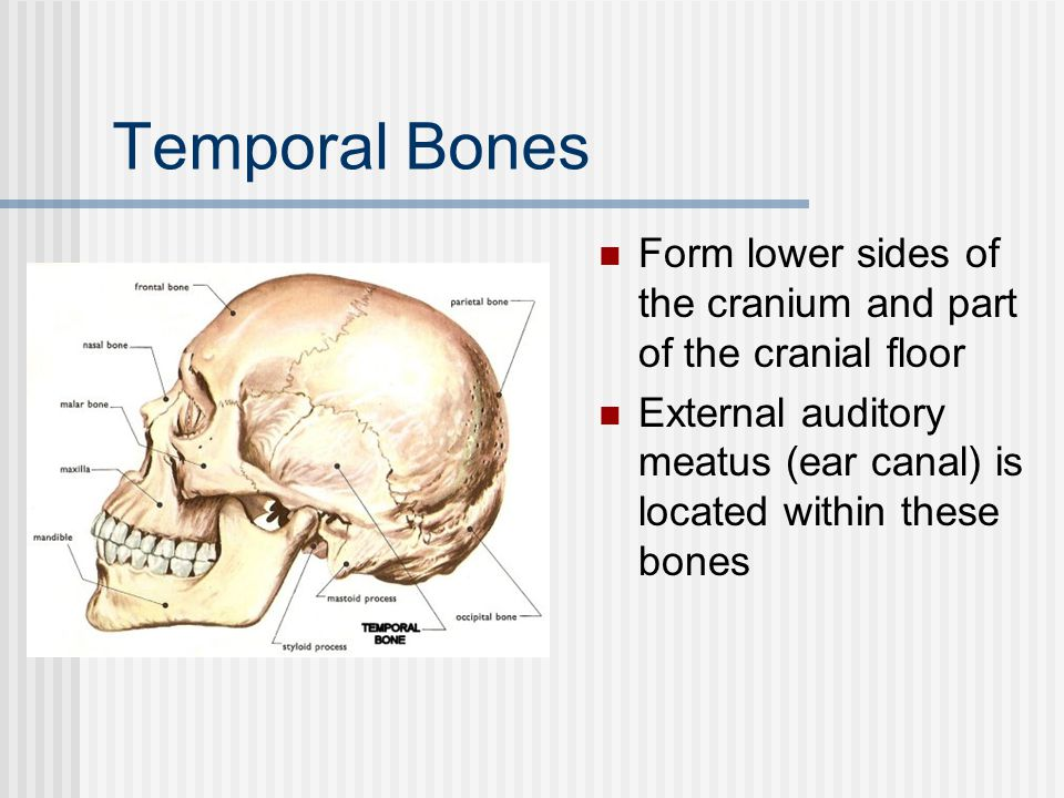 Temporal Bones Form lower sides of the cranium and part of the cranial floor.