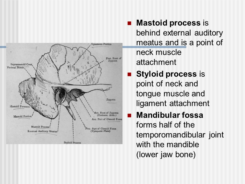 Mastoid process is behind external auditory meatus and is a point of neck muscle attachment