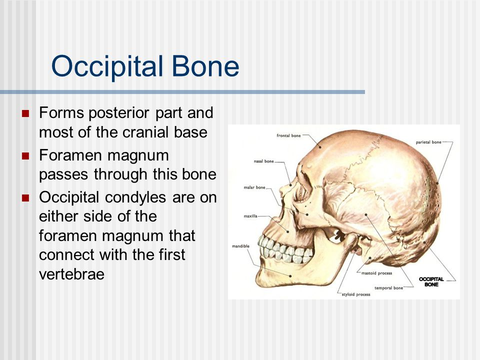 Occipital Bone Forms posterior part and most of the cranial base