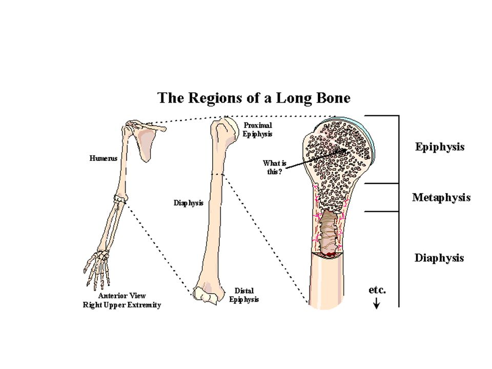 Please also note that there is a great deal of cartilage at the end of each of the long bones, an area called the epiphysis (see the image below). (If each end is called the epiphysis, how do we show one end of the humerus from the other end in the name Easy: Proximal epiphysis& Distal epiphysis!) The cartilage at all the epiphyses (pl.) indicates that a great deal of growth in long bones is actually happening at the ends (thus making the bones longer. Another way to determine age is to look at the epiphysis (end) of a long bone (the shape of which should be self-explanatory).