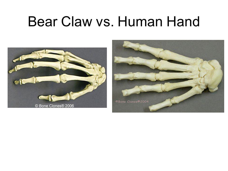 Bear Claw vs. Human Hand