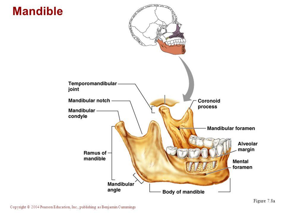 Mandible Figure 7.8a