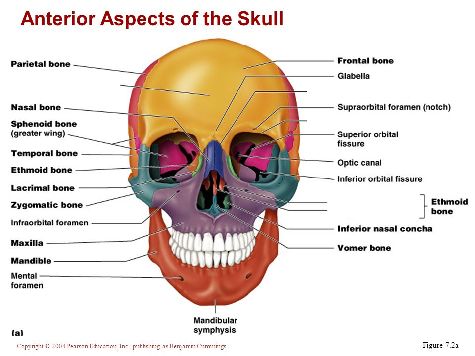 Anterior Aspects of the Skull