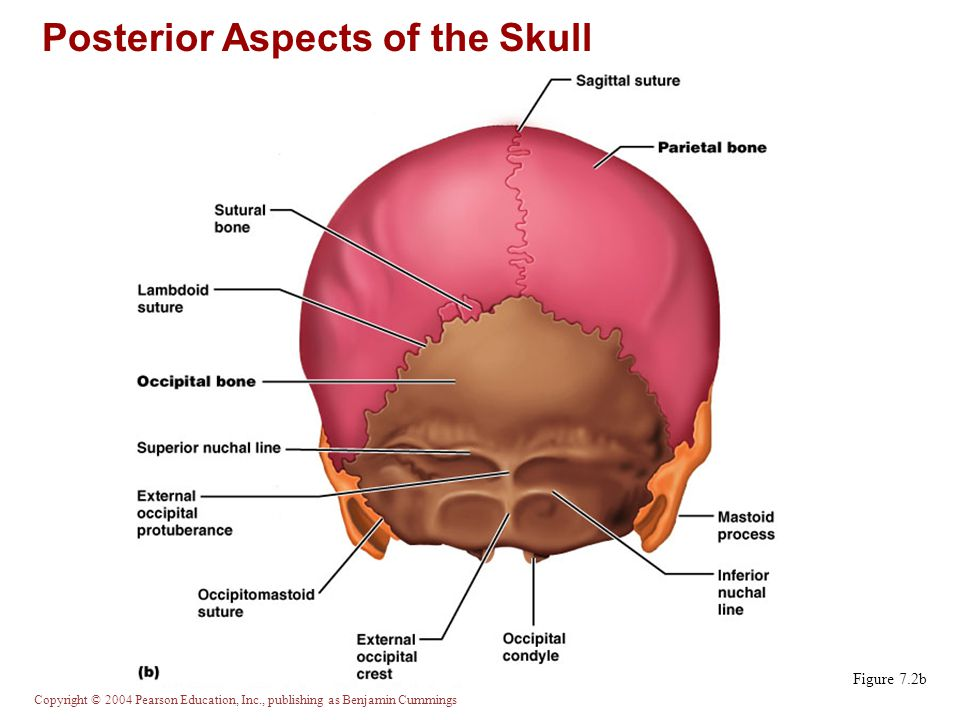 Posterior Aspects of the Skull
