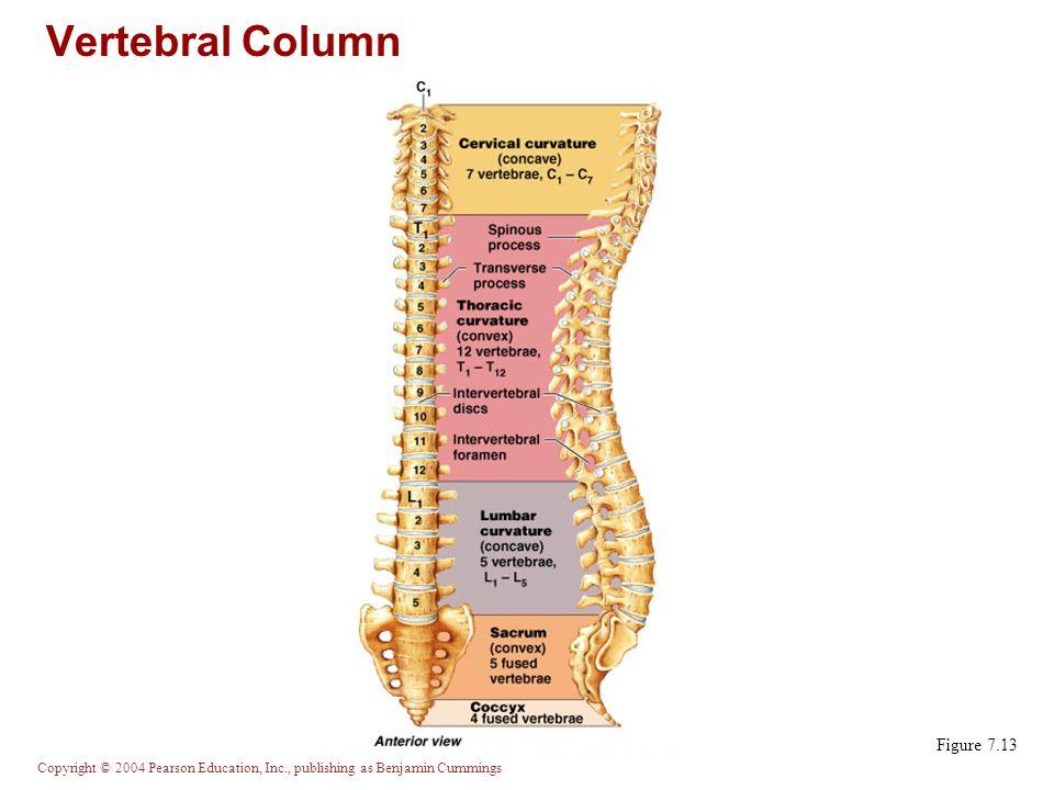 Vertebral Column Figure 7.13