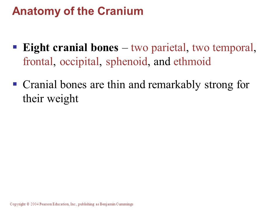 Cranial bones are thin and remarkably strong for their weight