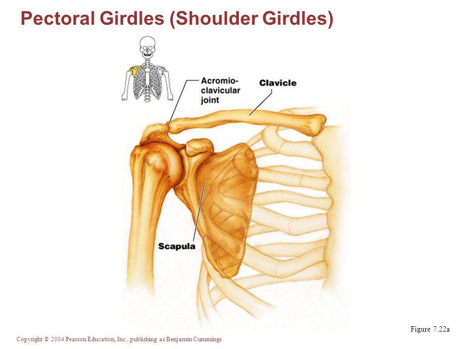Pectoral Girdles (Shoulder Girdles)