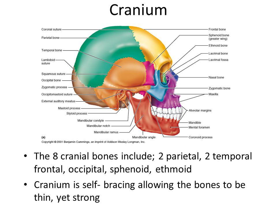 Cranium The 8 cranial bones include; 2 parietal, 2 temporal frontal, occipital, sphenoid, ethmoid.