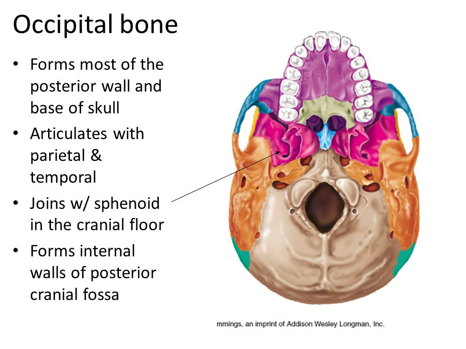 Occipital bone Forms most of the posterior wall and base of skull