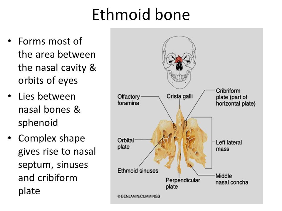 Ethmoid bone Forms most of the area between the nasal cavity & orbits of eyes. Lies between nasal bones & sphenoid.