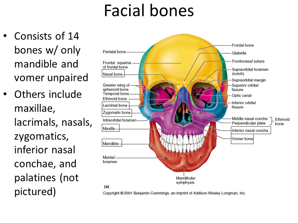 Facial bones Consists of 14 bones w/ only mandible and vomer unpaired