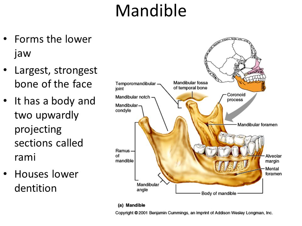 Mandible Forms the lower jaw Largest, strongest bone of the face