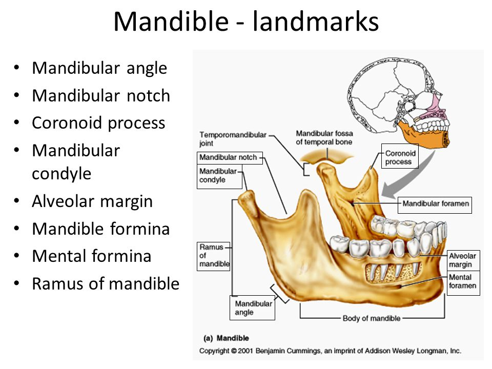Mandible - landmarks Mandibular angle Mandibular notch