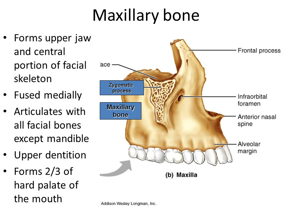 Maxillary bone Forms upper jaw and central portion of facial skeleton