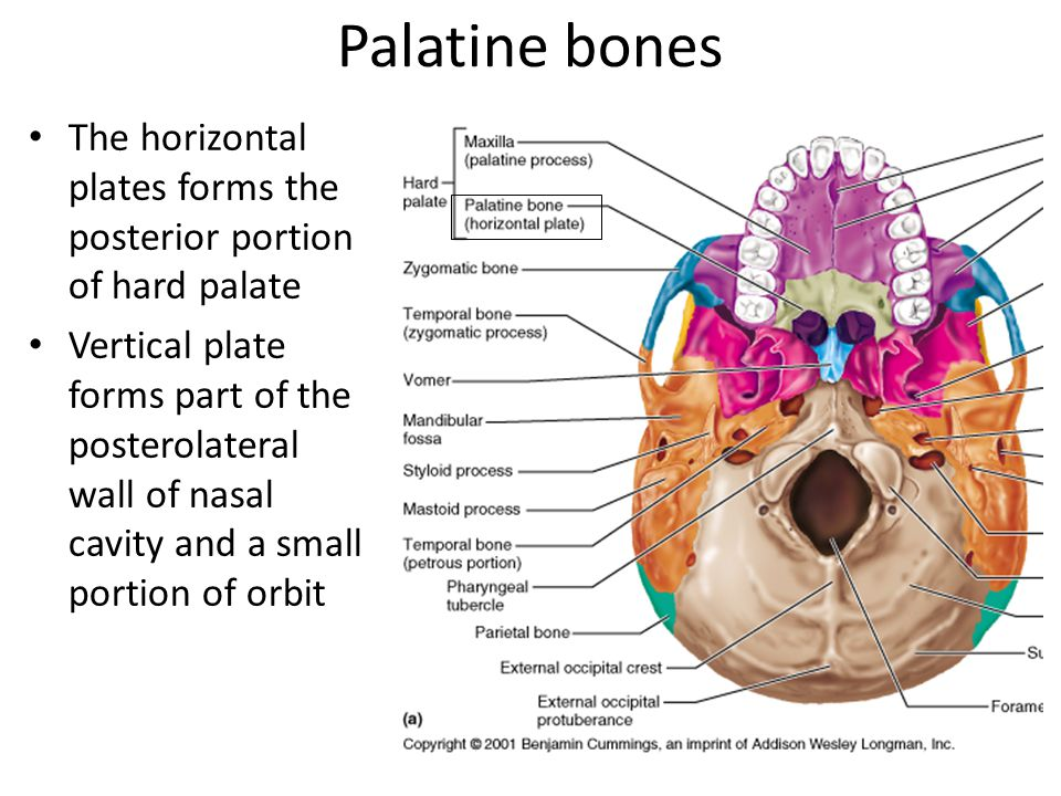 Palatine bones The horizontal plates forms the posterior portion of hard palate.