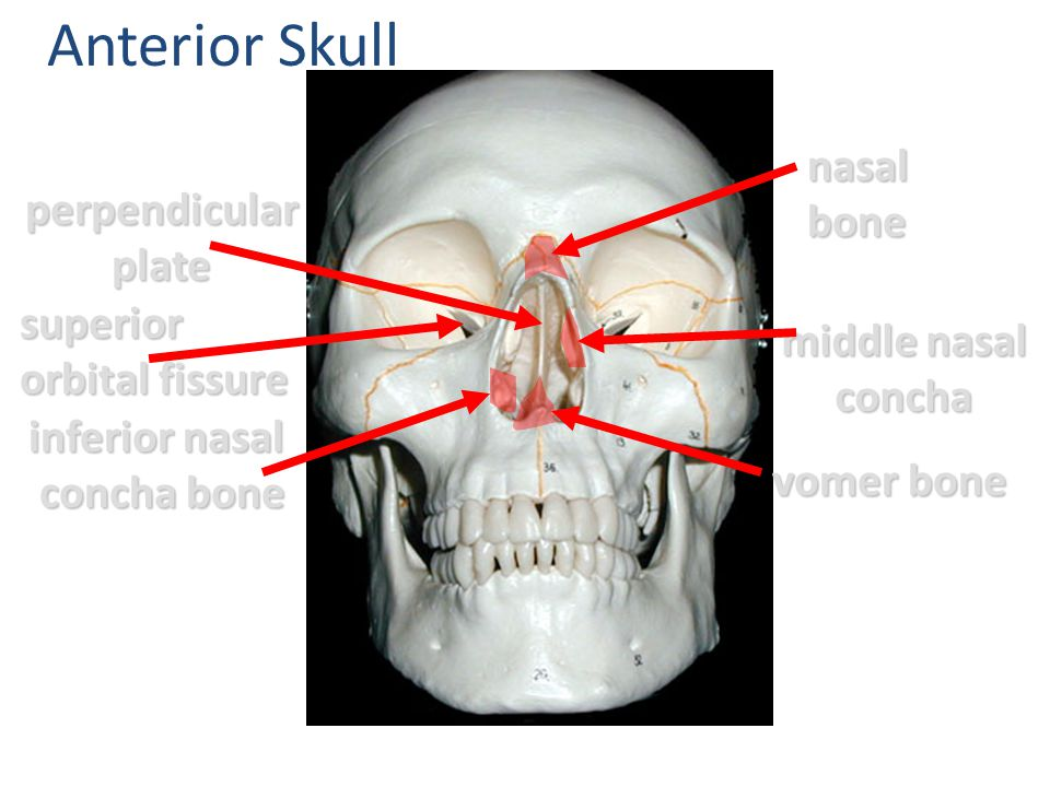 Anterior Skull nasal bone perpendicular plate superior orbital fissure