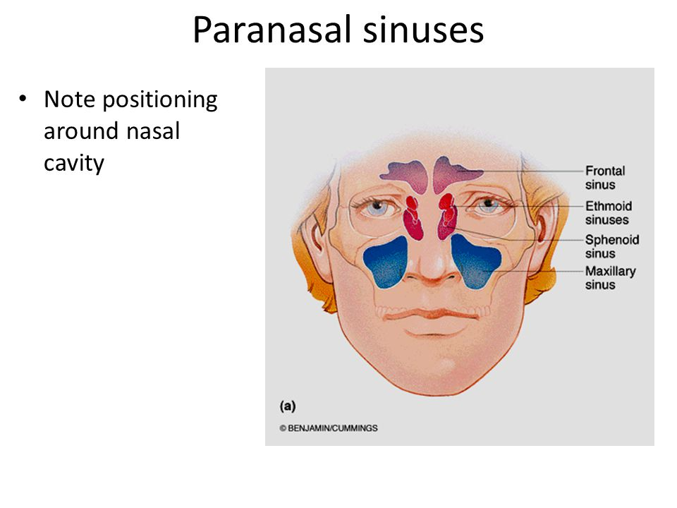 Paranasal sinuses Note positioning around nasal cavity