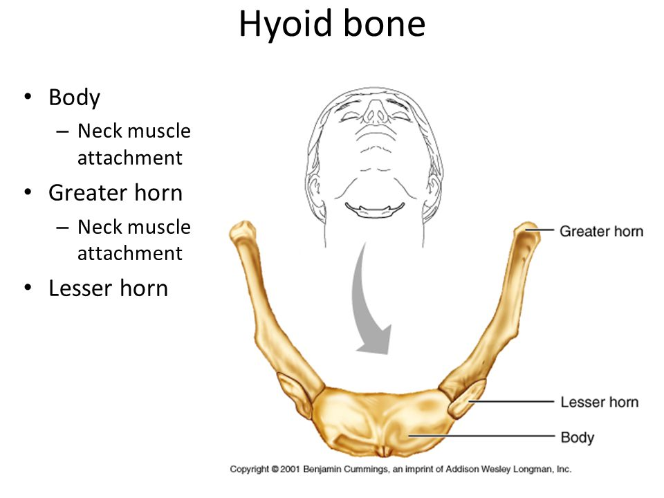 Hyoid bone Body Neck muscle attachment Greater horn Lesser horn