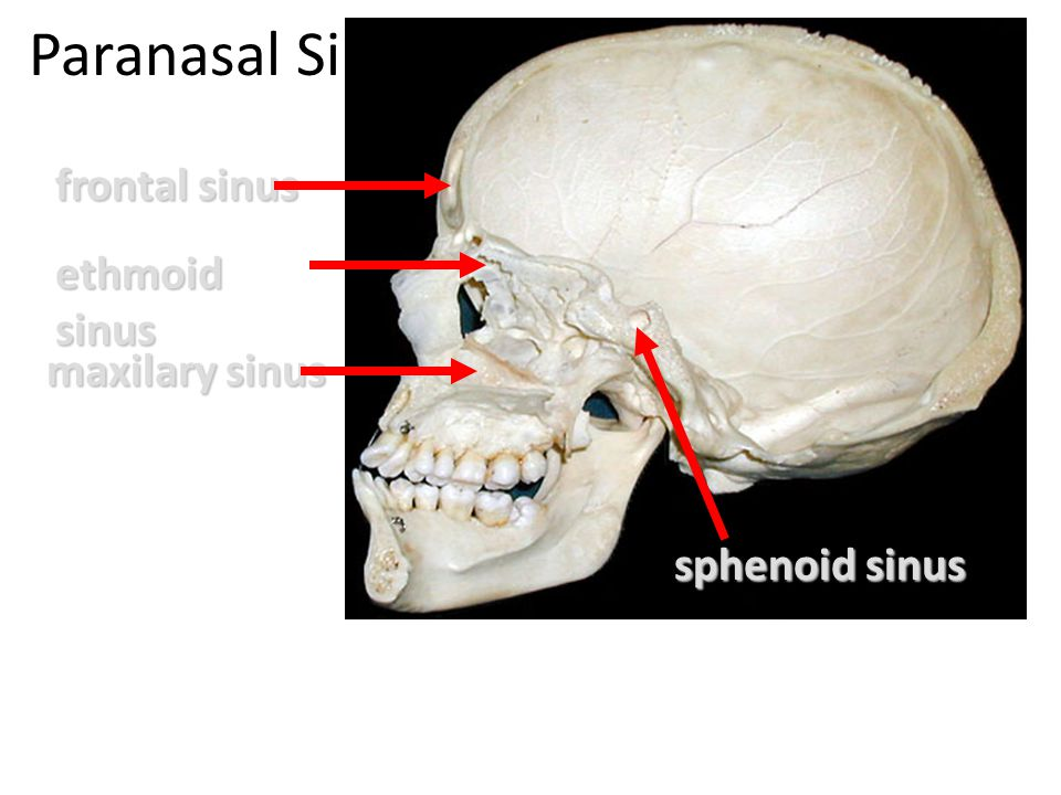 Paranasal Sinuses frontal sinus ethmoid sinus maxilary sinus