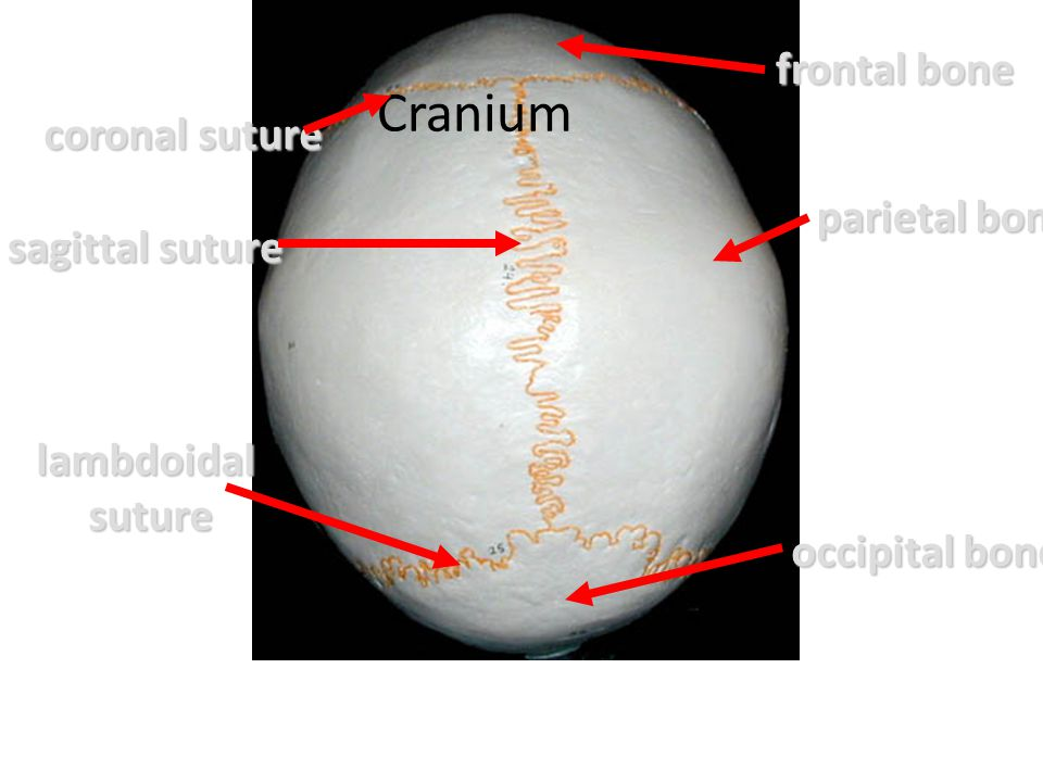 Cranium frontal bone coronal suture parietal bone sagittal suture