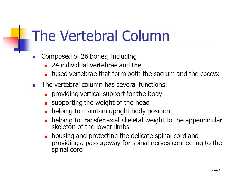 The Vertebral Column Composed of 26 bones, including