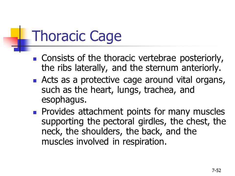 Thoracic Cage Consists of the thoracic vertebrae posteriorly, the ribs laterally, and the sternum anteriorly.