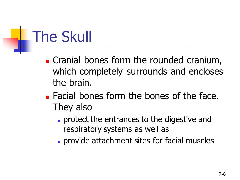 The Skull Cranial bones form the rounded cranium, which completely surrounds and encloses the brain.
