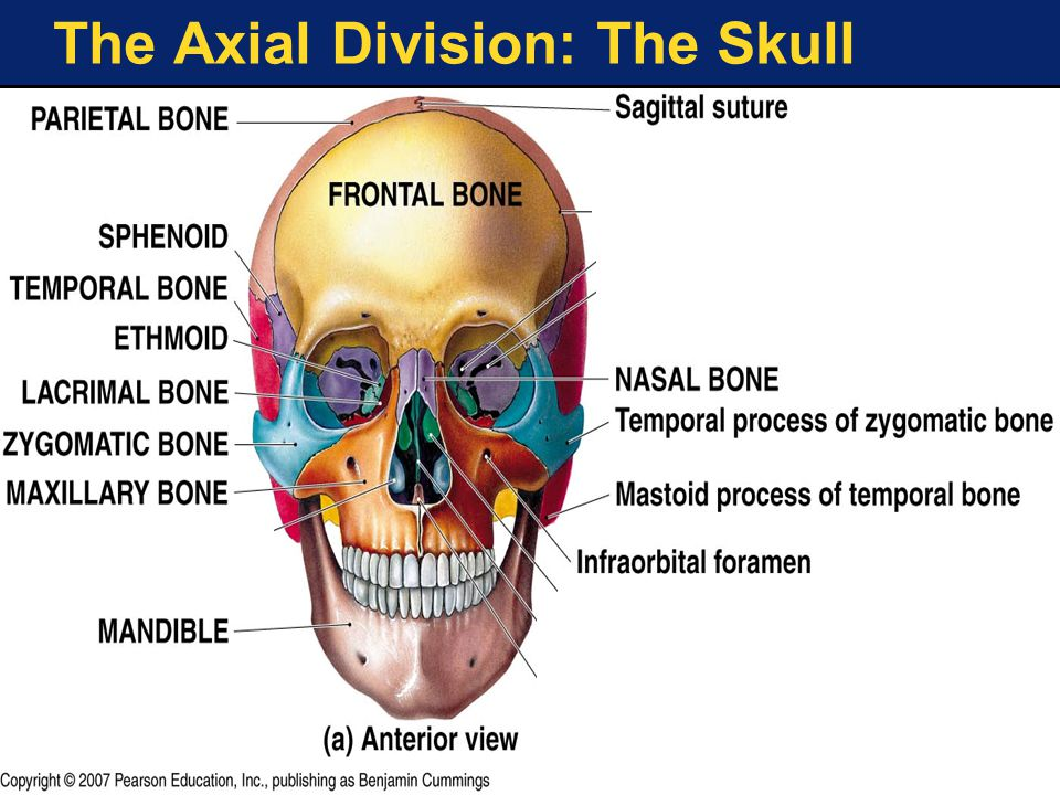 The Axial Division: The Skull