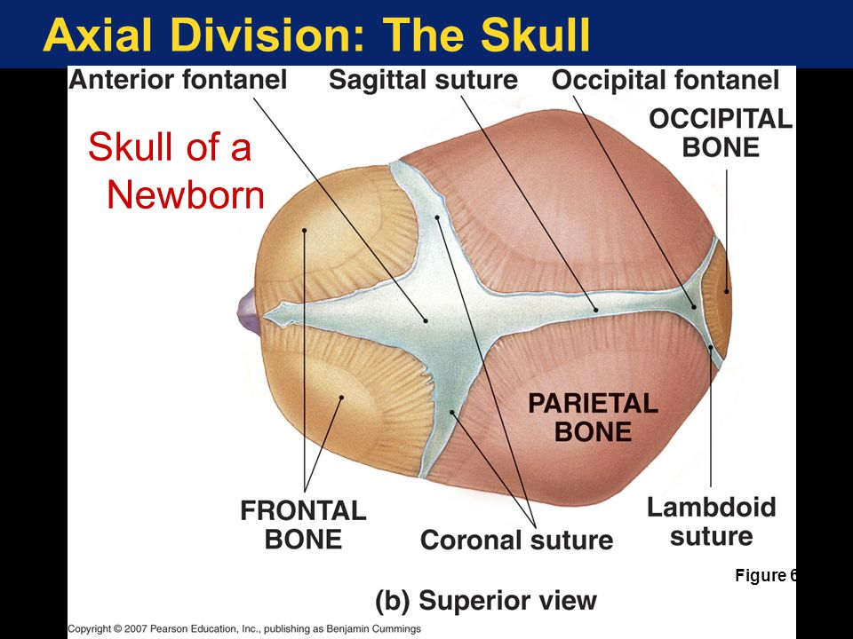 Axial Division: The Skull