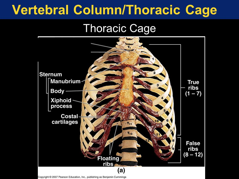 Vertebral Column/Thoracic Cage
