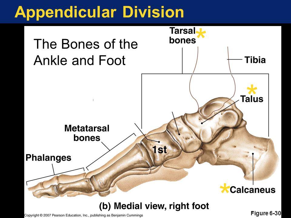 Appendicular Division