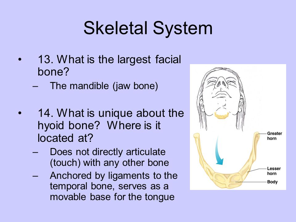 Skeletal System 13. What is the largest facial bone