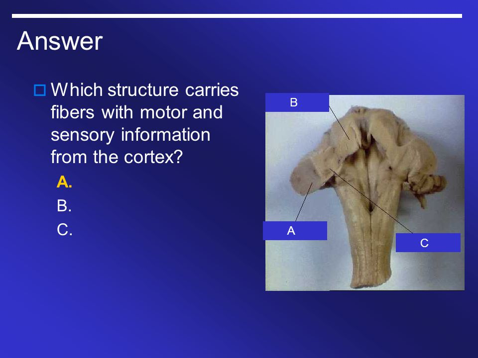 Answer Which structure carries fibers with motor and sensory information from the cortex A. B. C.