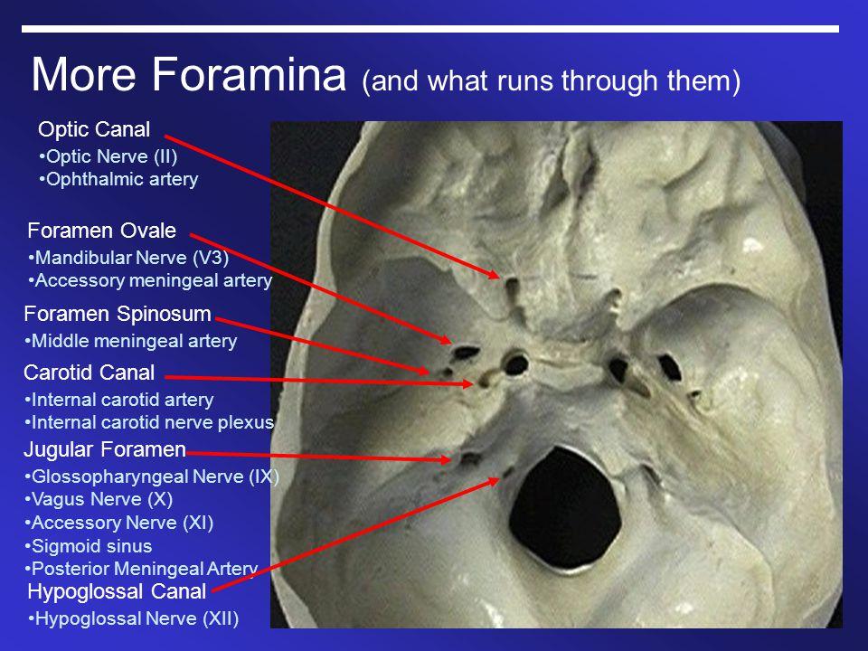 More Foramina (and what runs through them)