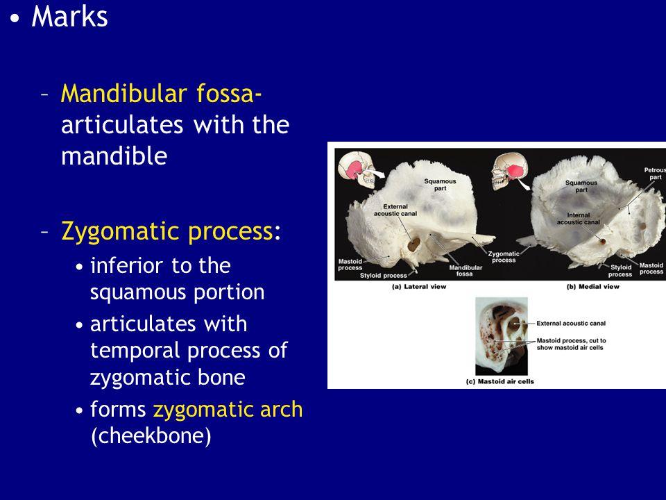 Marks Mandibular fossa-articulates with the mandible