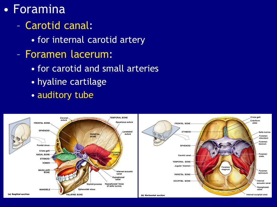Foramina Carotid canal: Foramen lacerum: for internal carotid artery