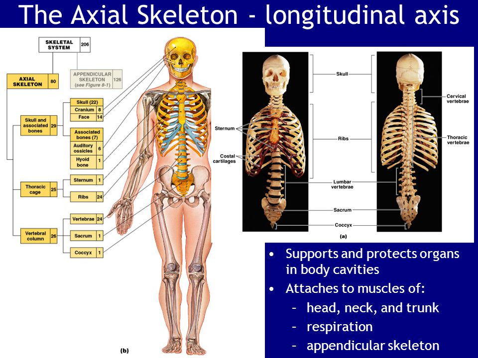 The Axial Skeleton - longitudinal axis